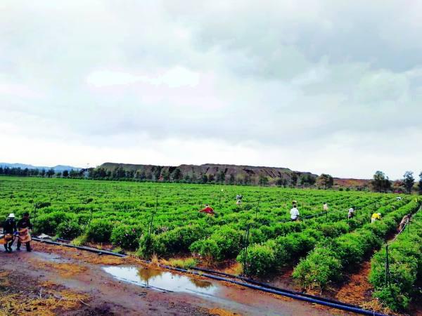 مزرعة آل عثمان
