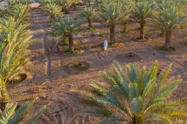مليون نخلة بمنطقة الجوف تستعد لإنتاج 43 طناً من التمور
