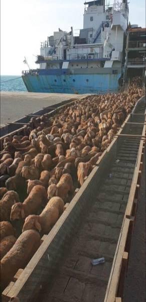 ميناء جدة يستقبل 232 ألف رأس من الماشية خلال 7 أيام