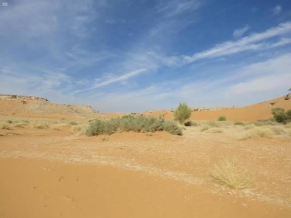 «محمية عروق».. المها العربي في حضن الرمال الذهبية