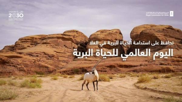 العُلا :  إعادة توطين 25 من ظباء الريم و10 من الوعل النوبي و8 من المها العربي