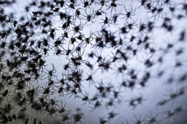 العناكب تجتاح المنازل في أستراليا