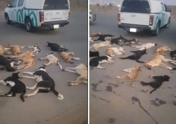 أمانة العاصمة المقدسة: فيديو تسميم الكلاب لا يخصنا ولا نقبل مثل هذه التصرفات