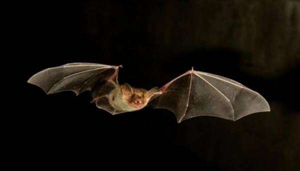 استراليا: الخفافيش تهدد العالم بـ
