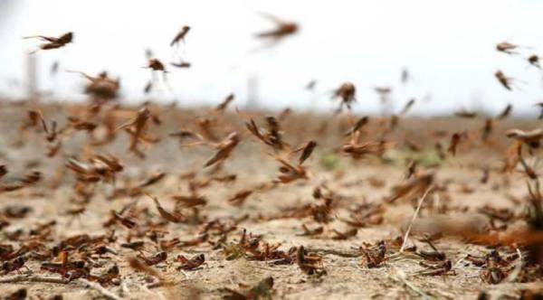 بيئة عسير تنجح في مكافحة أسراب الجراد الصحراوي