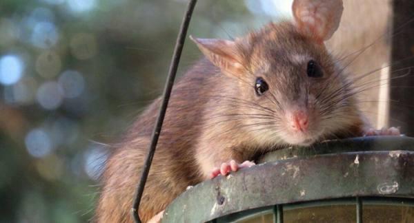 بعد الكوارث المناخية... فئران تغزو أستراليا