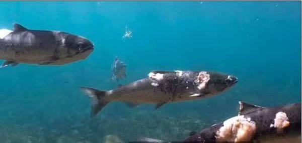 الحر يحرق السمك داخل مياه المحيط