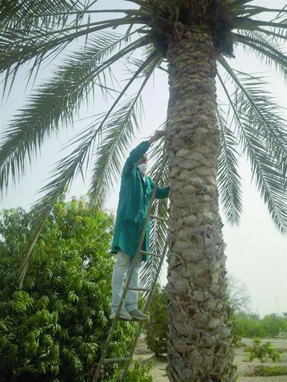 Date palm pest2